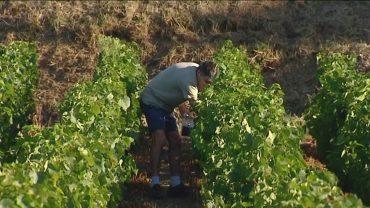 fr3-beaujolais-vignes