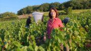 Instant Beaujolais – Les vendanges