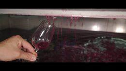 Vinification du Beaujolais Nouveau 2016 – Une course contre la montre