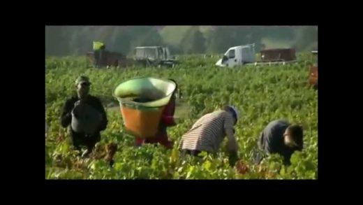 Vendanges en Beaujolais au Domaine Geoffray